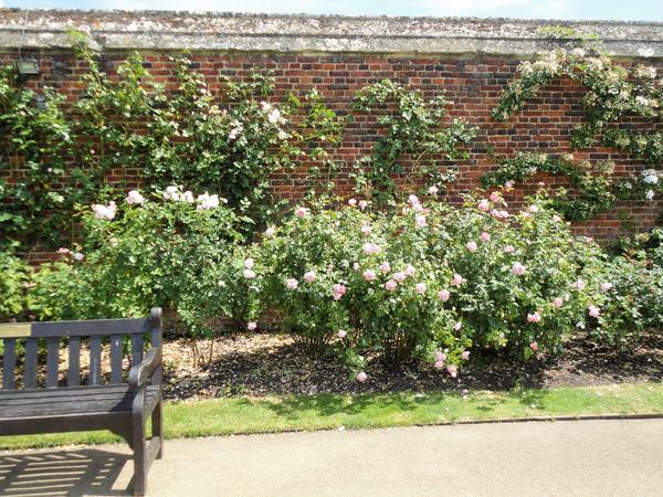 Современные сорта роз. Фото автора