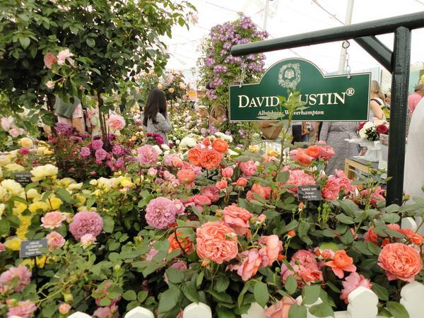 Розы питомника Д. Остина на выставке в Челси. Фото автора