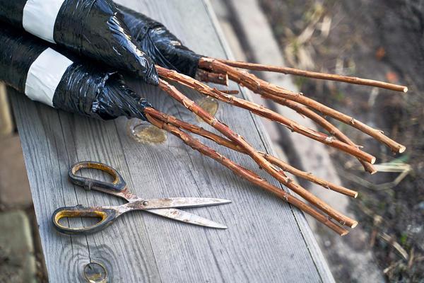 Одревесневшие саженцы сажают ранней весной или в начале осени