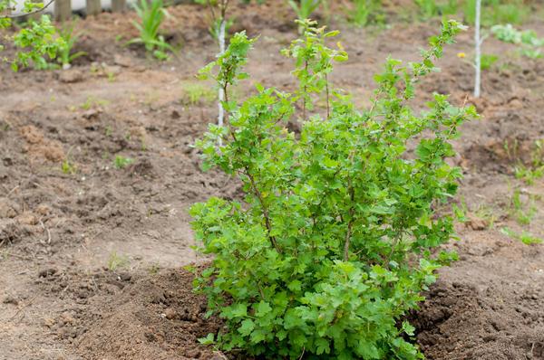 Крыжовник хорошо будет расти на открытом солнечном участке