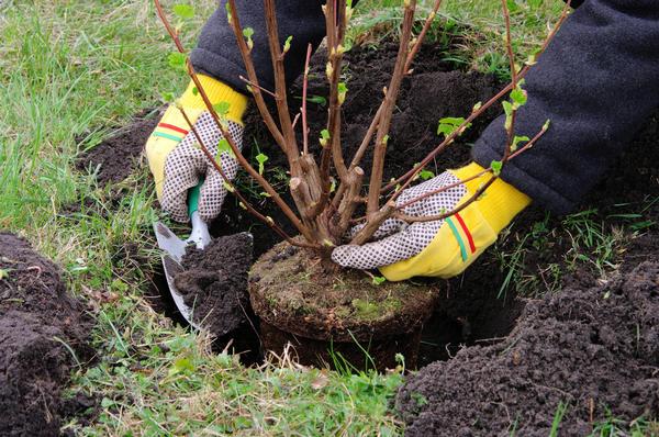 Саженцы с закрытой корневой системой высаживают с весны до осени