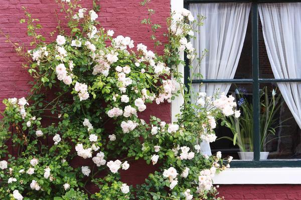 Изящество вьющейся розы не может не восхищать