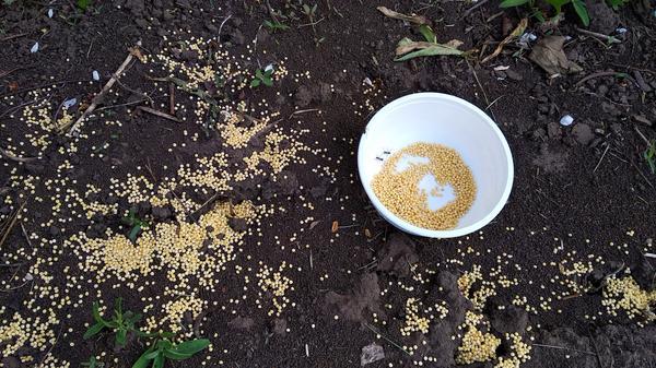 Пшено против муравьёв. Фото автора