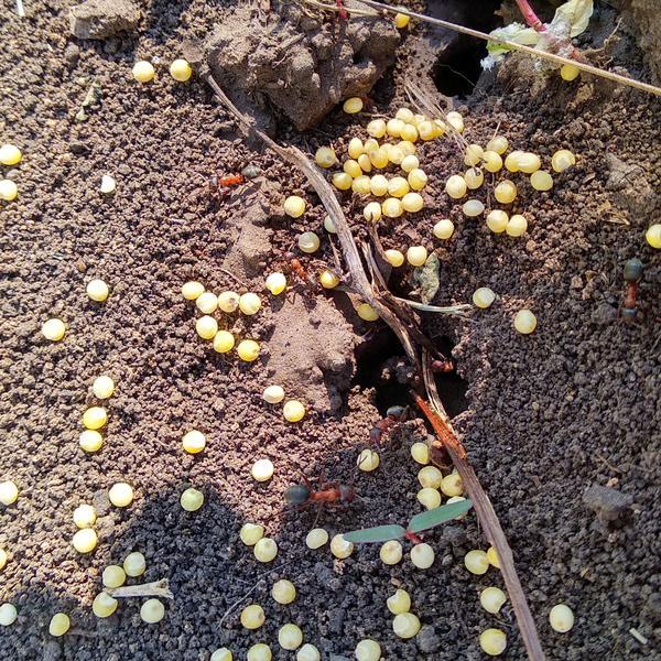 Муравьи очистили входы от пшена. Фото автора