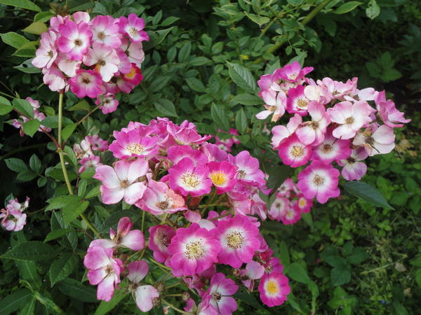 Мускусная роза, сорт Mozart. Фото автора