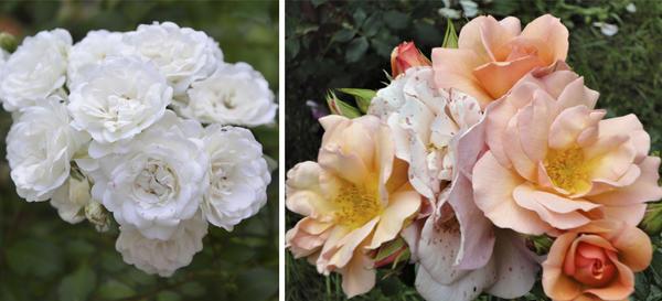Слева роза Prosperity, справа - Buff Beauty. Фото автора