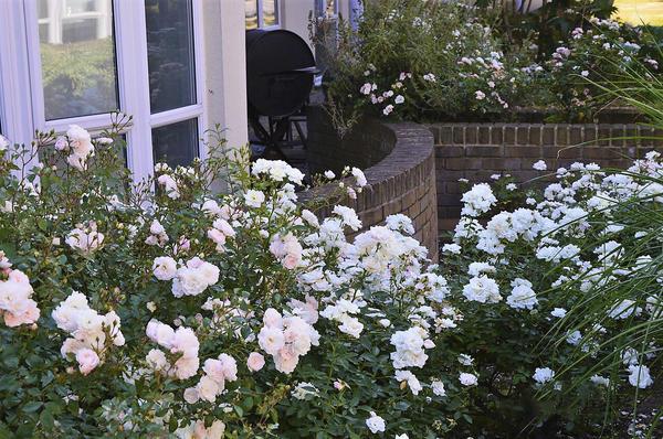 Мускусные розы в палисаднике. Фото автора