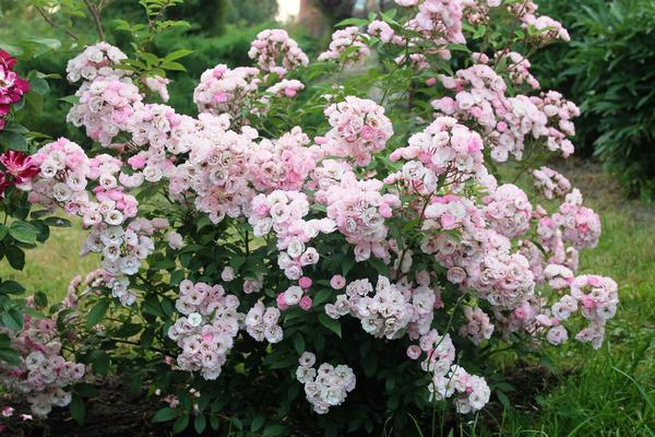Роза Heavenly Pink. Фото Елены Столповской (Vesna196105)
