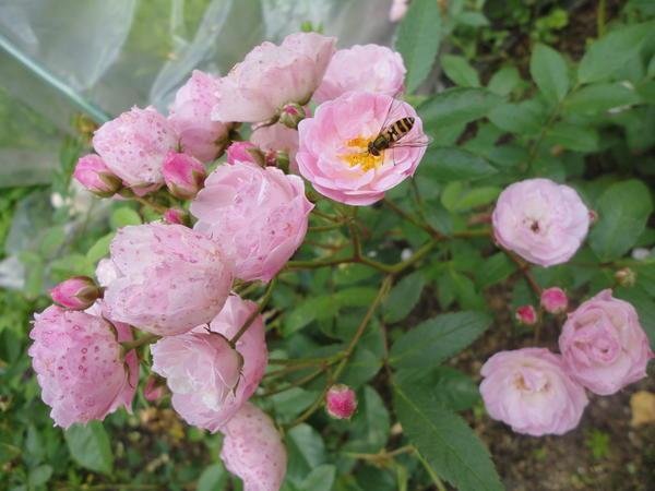 Кисть мускусной розы сорта Heavenly Pink. Фото автора