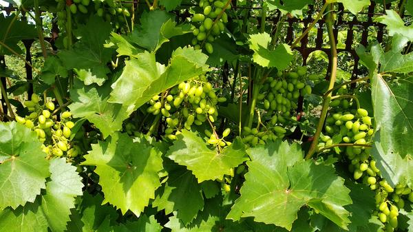 Как правильно поливать виноград и сколько воды ему нужно
