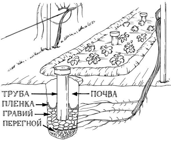 По сути траншея сплошной длинный шурф. Фото из книги Новейшая энциклопедия выращивания винограда Н. Курдюмова