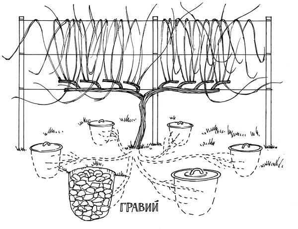 На взрослый куст винограда достаточно 5-6 шурфиков. Фото из книги {amp}quot;Новейшая энциклопедия выращивания винограда{amp}quot; Н. Курдюмова