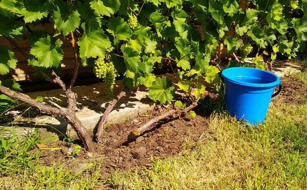Способы полива винограда должны быть продуманными