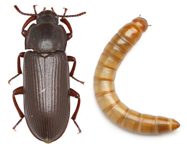 Взрослая особь и личинка мучного хрущака