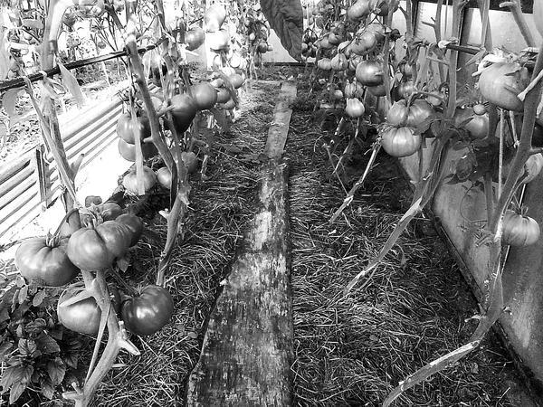 Чтобы солома лежала плотнее, можно придавить её досками, по ним и ходить. Фото из книги Секреты урожайной теплицы