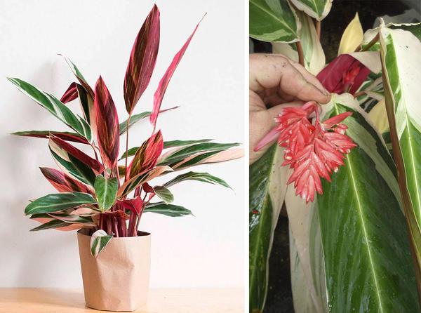 Слева строманта. Фото с сайта rastenievod.com. Справа цветок строманты. Фото с сайта briansbotanicals.net