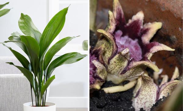 Слева аспидистра. Фото с сайта gardenplants.next.co.uk. Справа цветки аспидистры крупным планом. Фото с сайта httpsgardenerdy.com