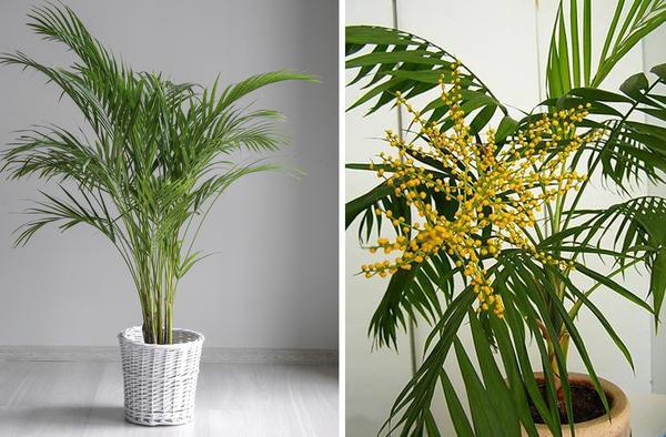 Хамедорея цветет в знак благодарности за хороший уход. Справа фото с сайта ria.com
