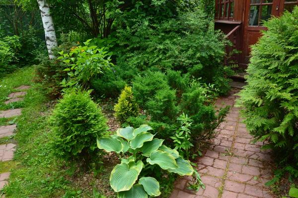 Идеальными спутниками хост могут стать хвойные растения. Фото автора