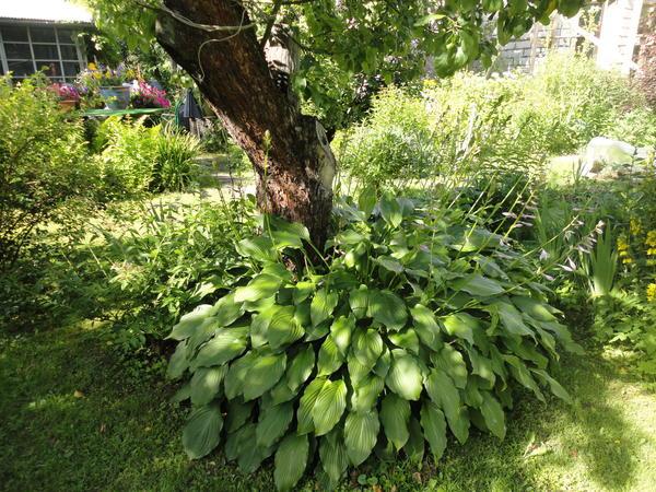 Хостам можно выделить место под деревом. Фото автора