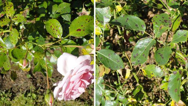 Пятнистость розы будет препятствием для усвоения удобрений по листу. Фото автора