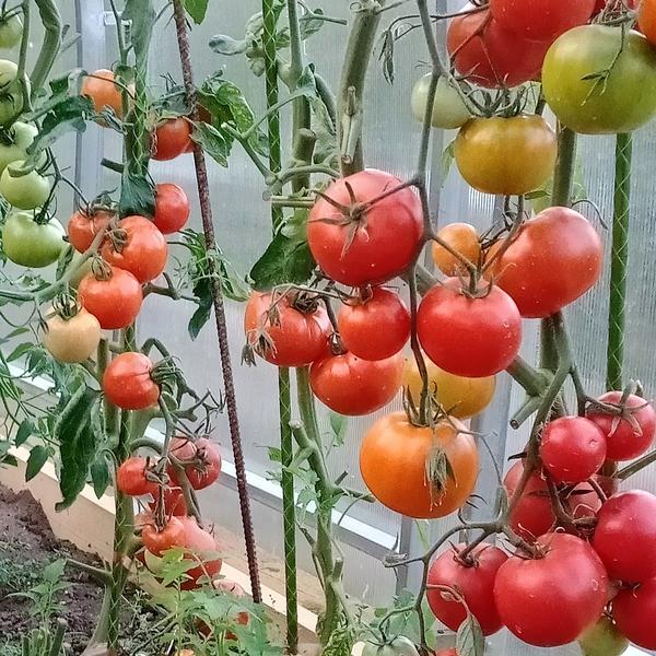 Секреты моего урожая томатов: непогоде вопреки