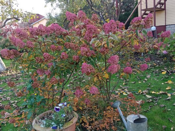 Гортензии украшают сад до самой поздней осени. Фото автора