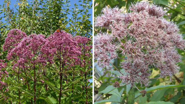 Посконник пурпурный. Слева его созревающие осенью семена. Фото автора