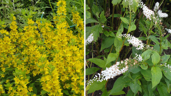 Слева: вербейник точечный создает мощные куртины, подавляя соседей по цветнику. Справа: вербейник клетровидный в благоприятных условиях становится нежелательным соседом. Фото автора
