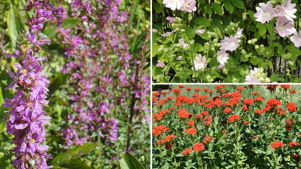 Эти растения селятся в саду по собственному усмотрению: дербенник иволистный (1), лаватера многолетняя (2), лихнис халцедонский (3). Фото автора