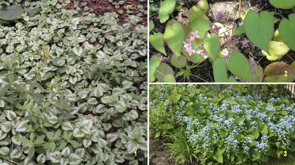 Зеленчук (1) и горянка красная (2) густо разрастаются в тенистых местах, а заросли бруннеры (3) дают возможность оформить проблемные места в саду, например, над дренажной канавой. Фото автора