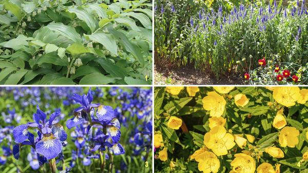 Эти растения разрастаются очень быстро: купена лекарственная (1), вероника колосистая (2), ирис сибирский (3), энотера многолетняя (4)