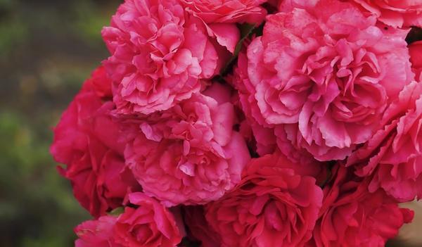 Плетистая роза Рапунцель