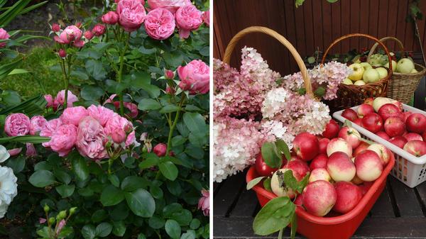 Роза Leonardo da Vinci блещет здоровьем, сад радует пышным цветением и обильными урожаями. Фото автора