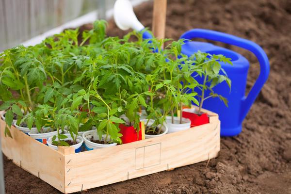 Пора высаживать рассаду томатов