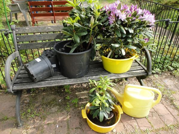 Посадить рододендрон нужно правильно. Фото автора