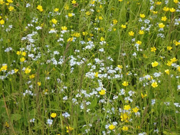 Необъяснимая прелесть сорняков в луговых биоценозах. Фото автора