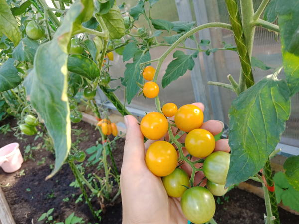 Какой же огород без томатов? Фото автора
