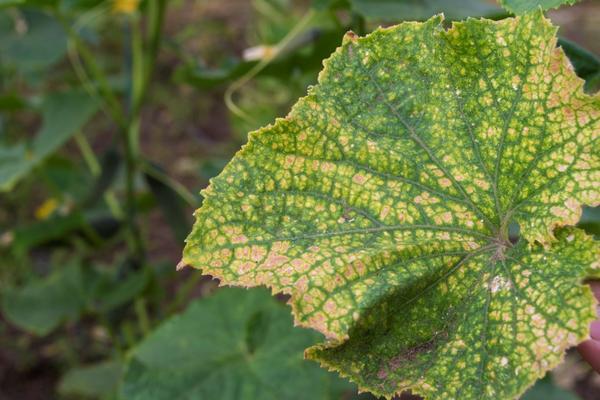 Лист огурца, пораженного паутинным клещом