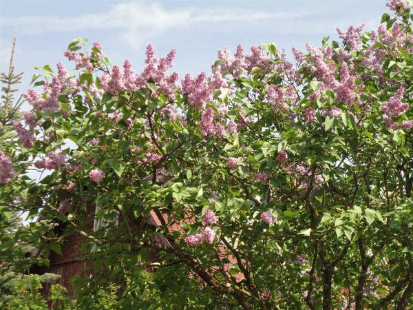 Многие сорта зарубежной селекции появляются и у нас в садах. Фото автора