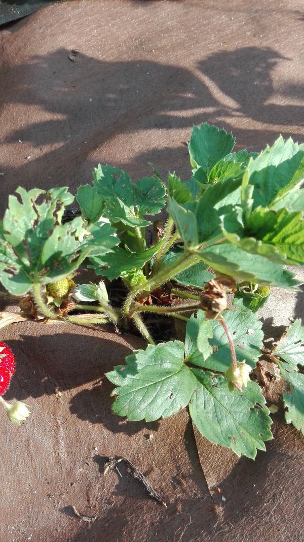 видны побуревшие ягоды, листья как кем-то погрызаны