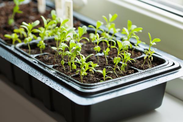 Начинайте подкармливать ваших малышей не раньше, чем появятся 2-3 настоящих листика