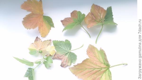 Чего не хватает смородине? Почему ее листья изменили цвет?