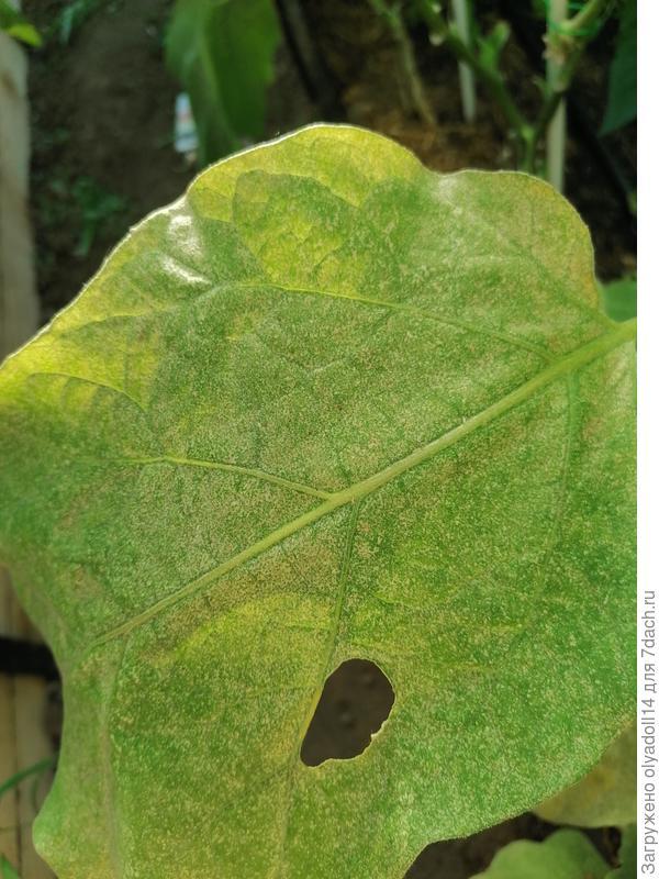 На листьях баклажанов признаки поражения. Чем они заболели? И что делать?