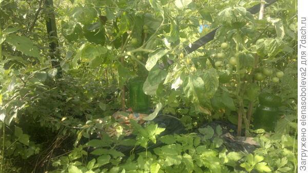 Еще два помидора в мешках, но неудачно поставила - в тени...