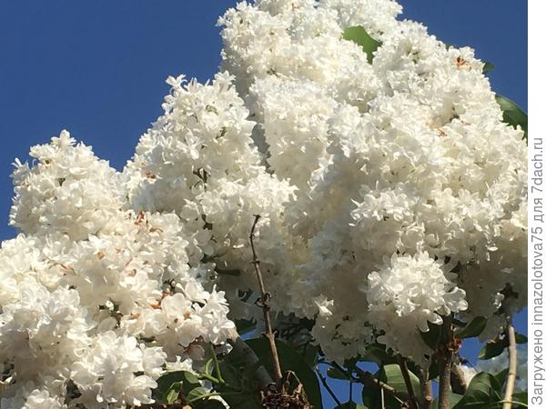 Почему цветы сирени белого цвета становятся ржавыми?