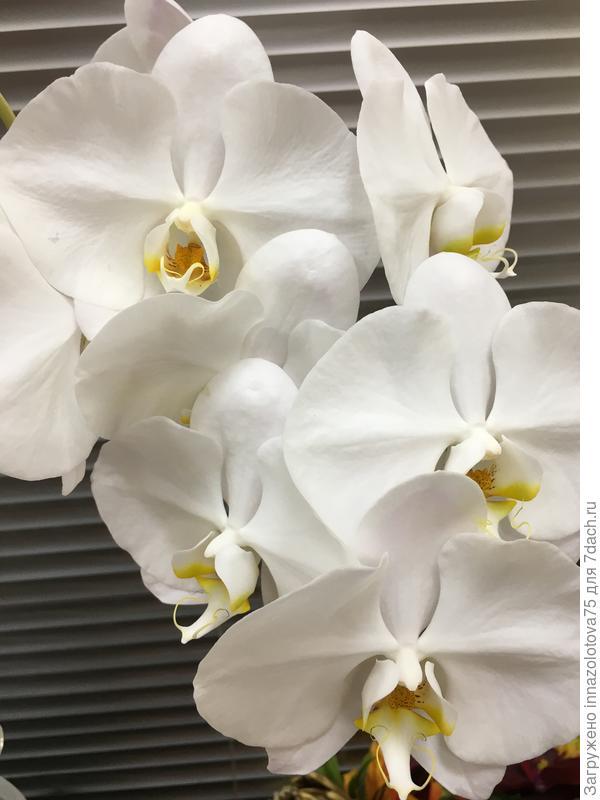 Орхидея цветёт