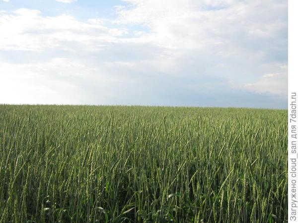 Такая нынче пшеница