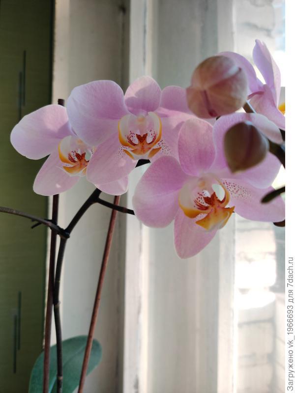 Как сделать более устойчивым ствол орхидеи?