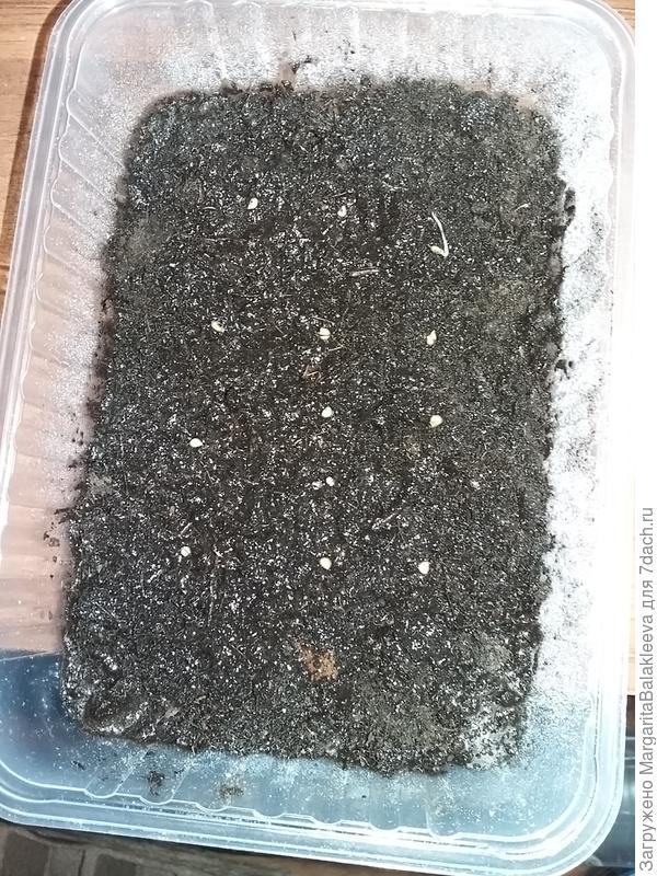 семена идут в почвогрунт